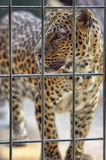 Leopard Behind Fence Royalty Free Stock Photo