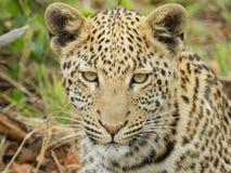 Leopard bei Pilanesberg Stockfotos