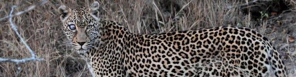 Leopard benannte Safari Lizenzfreie Stockfotografie