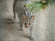 Leopard bengal cat. Prionailurus Felis bengalensis euptilura - wild animal live in tropical rain. Small tiger mammal. Leopard bengal cat. Prionailurus Felis stock photos