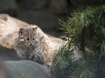 Leopard bengal cat. Prionailurus Felis bengalensis euptilura - wild animal live in tropical rain forest, South East Asia stock image