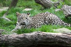 Leopard big cat. Full body of leopard big wild cat. Photography of wildlife Stock Photo
