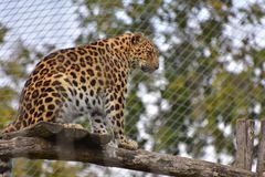 Leopard Big Cat Vienna Zoo. Leopard, Panthera pardus, sitting on wooden floor and watching around. Austria, Vienna zoo, October 2017 royalty free stock photography