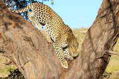 Leopard big spotted cat Royalty Free Stock Photos