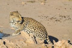 Leopard big spotted cat. Photographed during safari in Southern Africa, this wild predator lives solitary and is part of beautiful African wildlife Leopardus Stock Photography