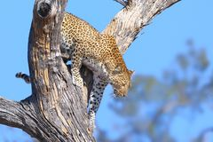 Leopard big spotted cat climbing a tree Royalty Free Stock Photography