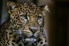 Portrait wild leopard on the dark background. Royalty Free Stock Photos