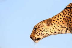 Leopard big spotted cat profile Royalty Free Stock Images