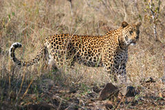 Leopard big spotted cat standing Royalty Free Stock Image