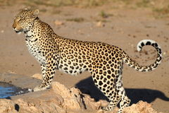 Leopard big spotted cat standing. Leopard big spotted cat photographed during safari in Southern Africa, this wild predator lives solitary and is part of Royalty Free Stock Image