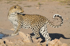 Leopard big spotted cat standing. Leopard big spotted cat photographed during safari in Southern Africa, this wild predator lives solitary and is part of Stock Image