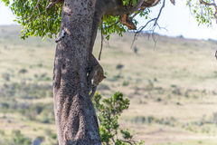 Leopard in big tree Stock Photography