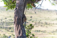 Leopard in big tree Stock Images