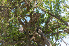 Leopard in big tree Royalty Free Stock Image