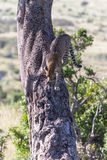 Leopard in big tree Royalty Free Stock Photos