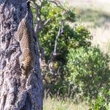 Leopard in big tree Stock Photos