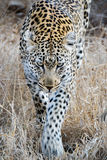Leopard. Big leopard walking straight towards me. Only a few meters from the car Stock Photos