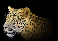 Leopard on Black Background Stock Images