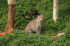 Leopard and black panther stock image