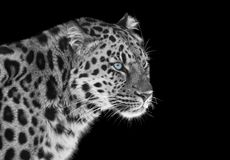 Leopard in black and white with blue eyes stock image