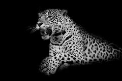 Leopard black and white Royalty Free Stock Photo
