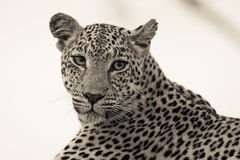 Leopard. Black and white image of this beautiful leopard stock photography