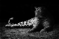 Leopard. Black and white image of a leopard lying on the ground Royalty Free Stock Photo