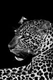 Leopard. Black and white image of a wild Leopard Stock Photography