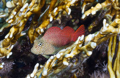 Leopard blenny Royalty Free Stock Photography