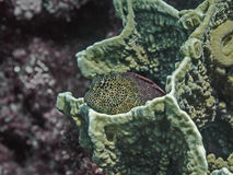 Leopard blenny at the coral reef in tropical sea water Royalty Free Stock Photography