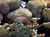Leopard blenny Stock Image