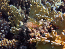 Leopard blenny Royalty Free Stock Photos