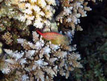 Leopard blenny Stock Photography