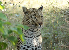 Leopard in Botswana Royalty Free Stock Image