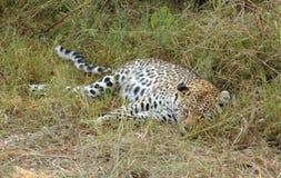 Leopard in Botswana Royalty Free Stock Photography