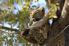 Leopard breakfast Royalty Free Stock Photography