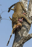 Leopard bring kill down a tree Stock Photo