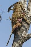 Leopard bring kill down a tree stock photo