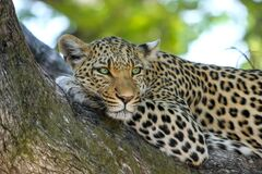 Leopard on Brown Trunk Tree Royalty Free Stock Photos