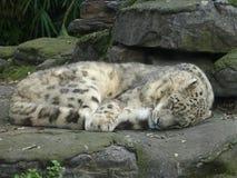 Leopard in Buenos Aires Lizenzfreie Stockfotografie