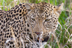 Leopard in the Bush in South Africa Royalty Free Stock Photography