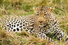 Leopard in the Bush in South Africa Stock Images