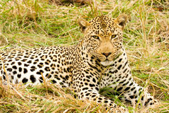 Leopard in the Bush in South Africa. Leopard at the Jackalberry Safari Lodge in the Thornybush Private Game Reserve, Limpopo Province, South Africa Stock Image