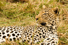 Leopard in the Bush in South Africa Royalty Free Stock Image