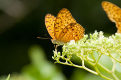 The Leopard Butterfly Stock Photography