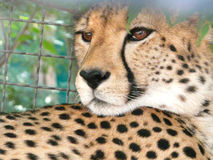 Leopard. The leopard in a cage Stock Images