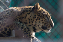 Leopard. In cage Stock Image