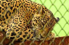 Leopard on Cage in Closeup Photography Stock Photo