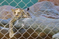 Leopard in the cage. Las Vegas, USA. North America Royalty Free Stock Photos