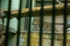 Leopard in a cage royalty free stock images